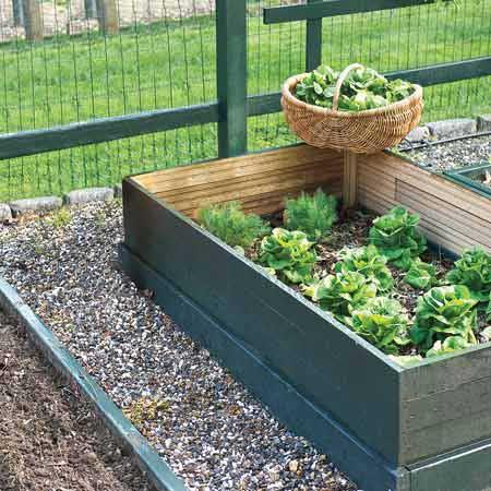 lettuce growing in outdoor garden