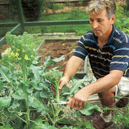 man cutting broccoli in a garden