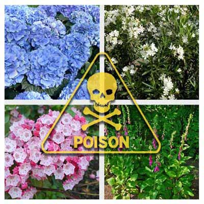 clockwise from top left: hydrangea, oleander, foxglove and mountain laurel
