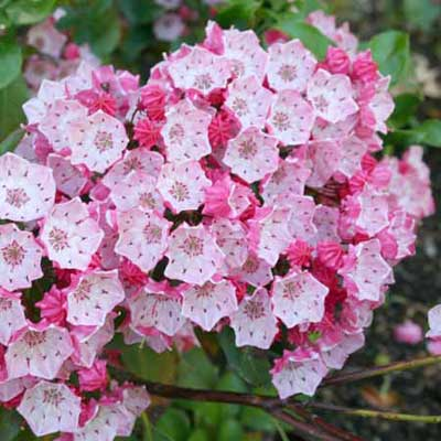 mountain laurel with pink and white flowers in full bloom