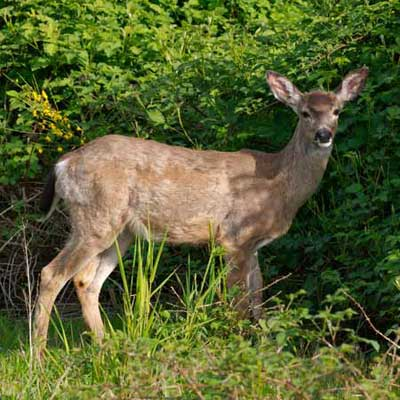 white-tailed deer at marymoor park