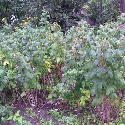 raspberry krzak maliny bush