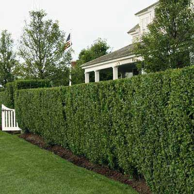 tall boxwood privet hedge blocking yard from deer