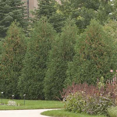 techny arborvitae