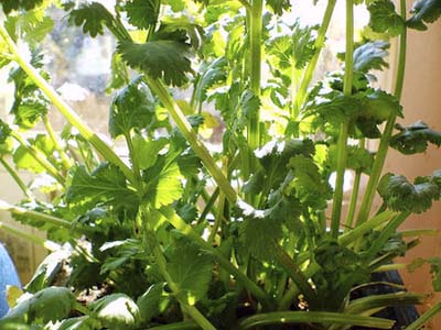 Indoor potted coriander for improving the appetite