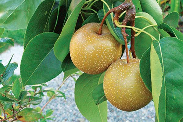 asian pears with An Edible-Ornamental Mix Fruits