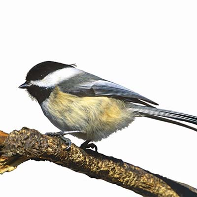 chickadee on a branch