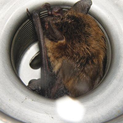 Bat sleeping in a kitchen sink drain