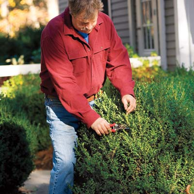 man pruning shrub