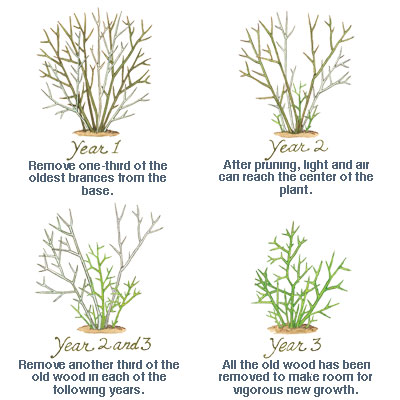 illustration of how to prune shrub