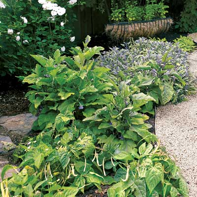 a garden path with bush beans, eggplant, sage, basil, artichoke and a conatiner of mint