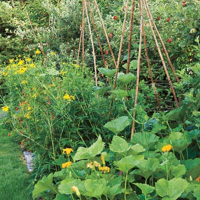 bamboo stake tepees for squash vines