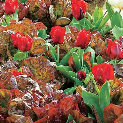 red leaf lettuce and red tulips