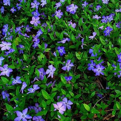 vinca minor darts blue plant