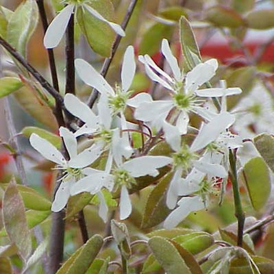 serviceberry plant