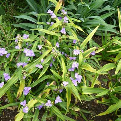 spiderwort plant
