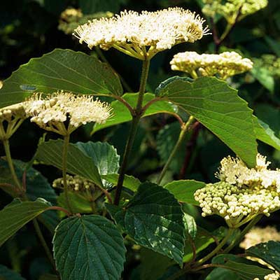 arrow wood viburnum plant