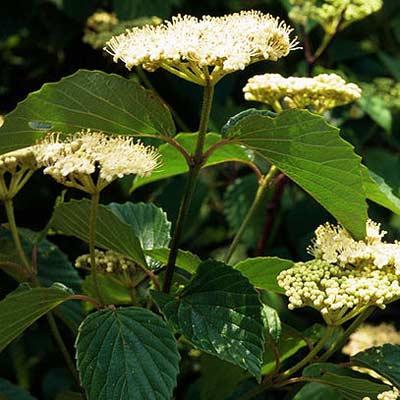 arrow wood viburnum plant
