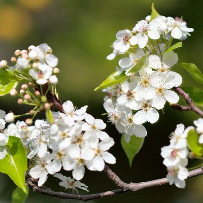 callery pear plant