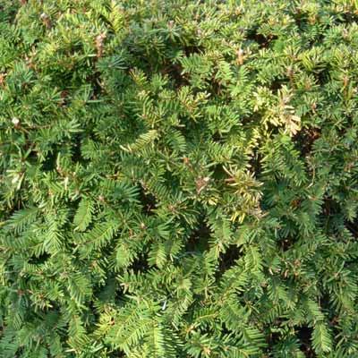 yew plant