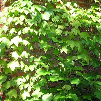boston ivy plant