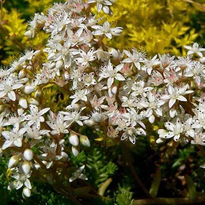 sedum autumn joy plant