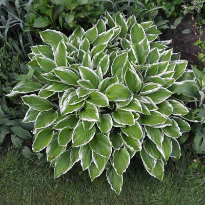 hosta patriot plant
