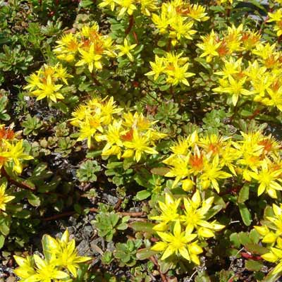 bailey's gold sedum plant