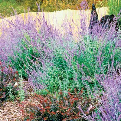 Russian sage and russet-colored Japanese barberry in late summer