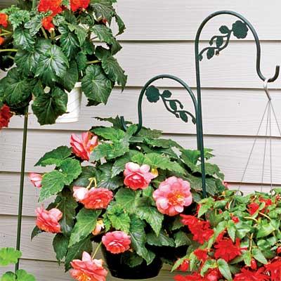 tuberose begonias in hanging pots