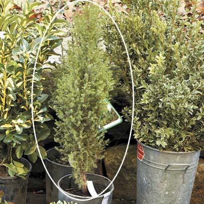 rugged juniper plant