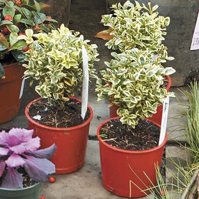 Variegated plants for winter