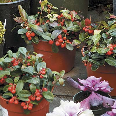 wintergreen plants with red berries
