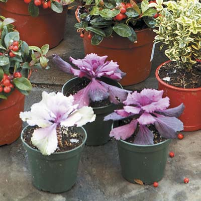 hardy blooming plants with frilly leaves 