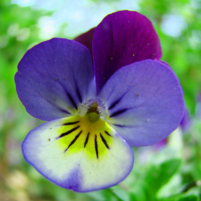 pansy edible flower