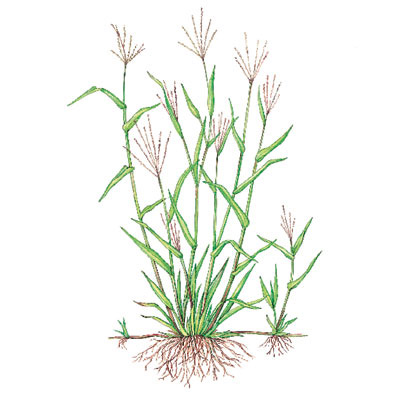 crabgrass illustration