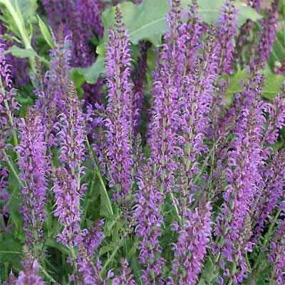 Sage (Salvia x sylvestris)