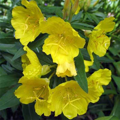 Sundrops (Oenothera fruticosa)