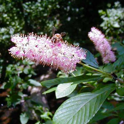 Sweet Pepperbush (Clethra alnifolia)