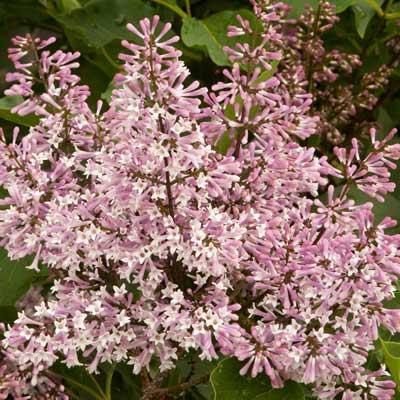 'Miss Kim' Lilac (Syringa pubescens subsp. patula 'Miss Kim')