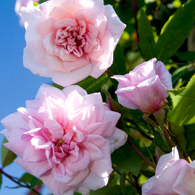 'Climbing Cecile Brunner' Rose (Rosa 'Climbing Cécile Brunner')