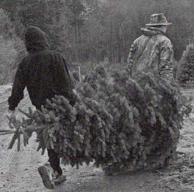 carrying a freshly cut christmas tree