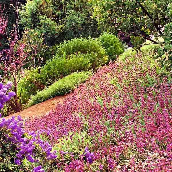 all about groundcover hillside with drought-tolerant plant, bee's bliss salvia