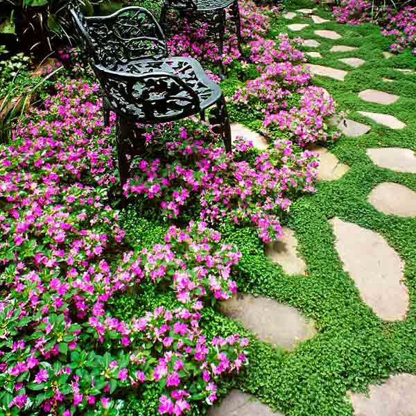 all about groundcover flagstone path with baby's tears