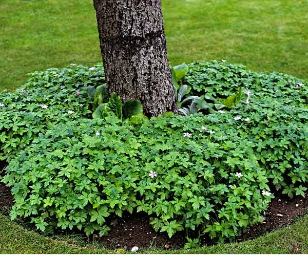 all about groundcover tree with ring of geraniums