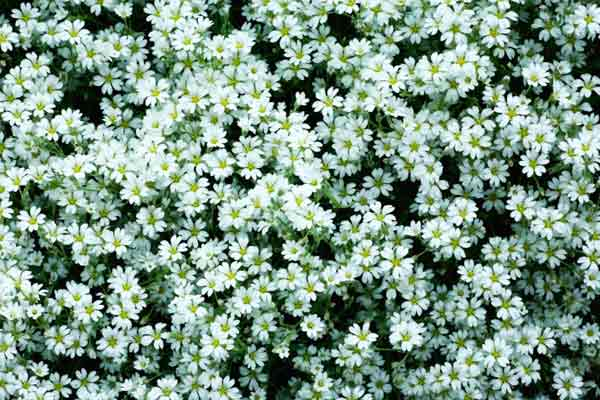 all about groundcover carpet forming plants 'Snow in summer'