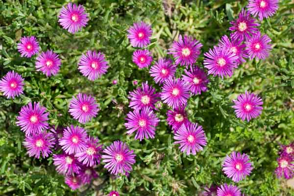 all about groundcover evergreen plants (delosperma cooperi)