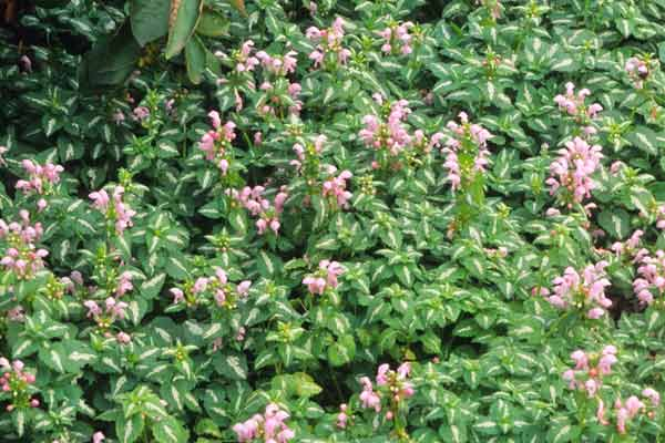 all about groundcover low-growing plants spotted deadnettle (lamium maculatum)