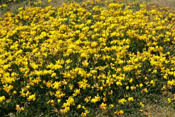 all about groundcover tall-growing plants 'Double bird's foot trefoil' (lotus corniculatus 'Plenus')