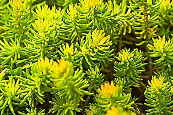 all about groundcover sun soaker 'Angelina' Stonecrop Sedum rupestre
